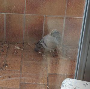 peeping-pigeon