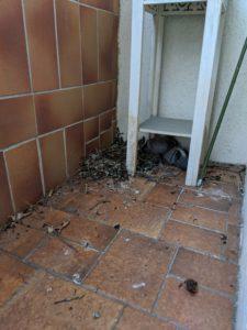 pigeon-3weeksold